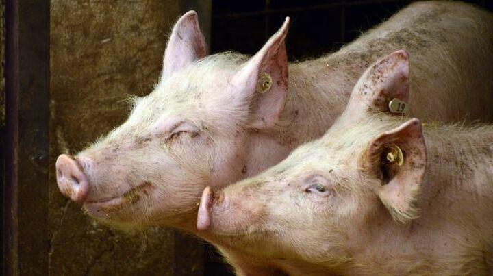 В Самарской области введен карантин из-за вспышки африканской чумы свиней
