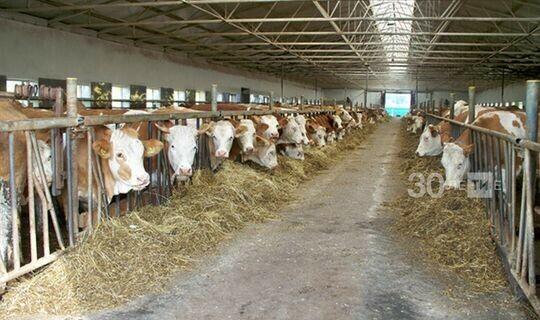 В Татарстане чипировали около 14 тыс. голов крупного рогатого скота