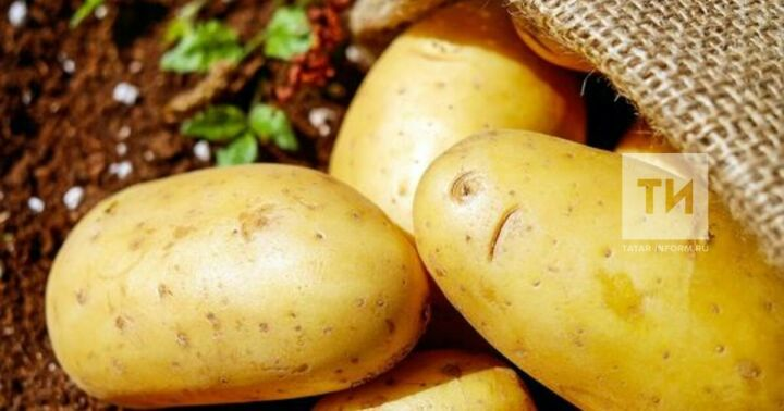 Почти 3 тыс. тонн картошки собрали на полях Нижнекамского района в 2020 году