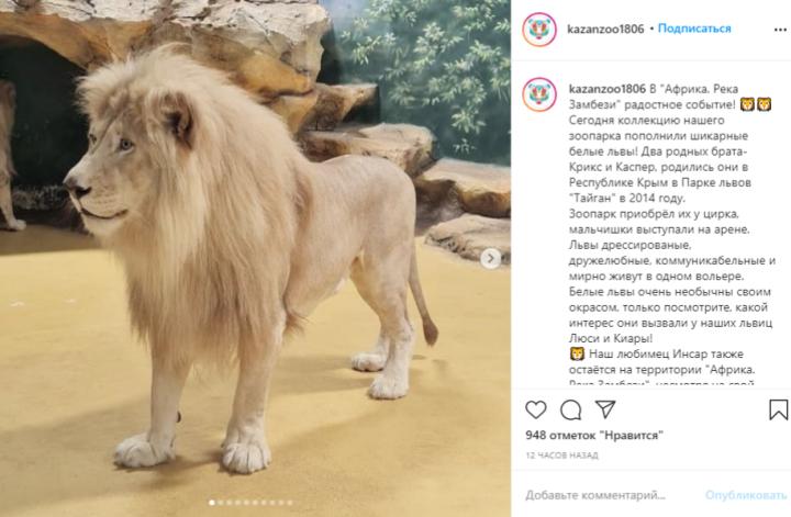 В казанский зоопарк «Река Замбези» привезли двух белых львов