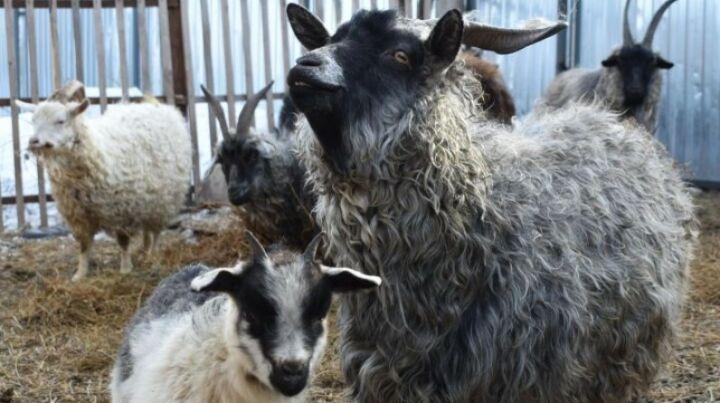 Пестречинская семья с успехом занялась производством альпийского молока