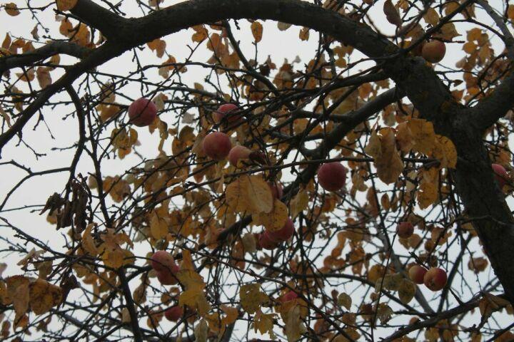 Агрофирма Верхнеуслонского района РТ посадит яблоневый сад по интенсивной технологии