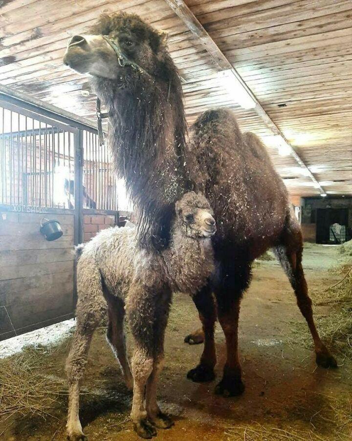 В челнинском зоопарке впервые родился верблюжонок