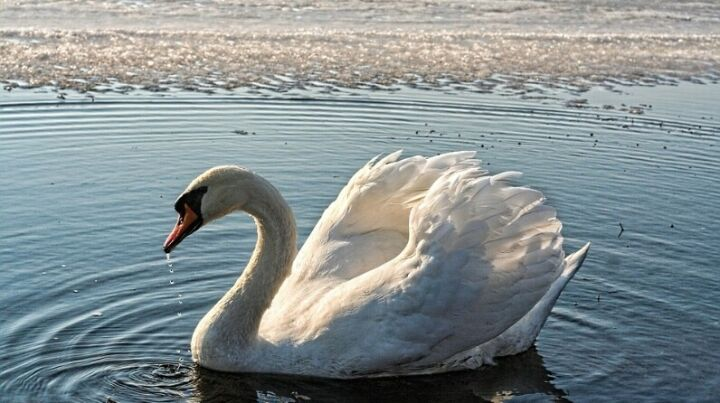 В Татарстан с зимовки прилетели первые лебеди