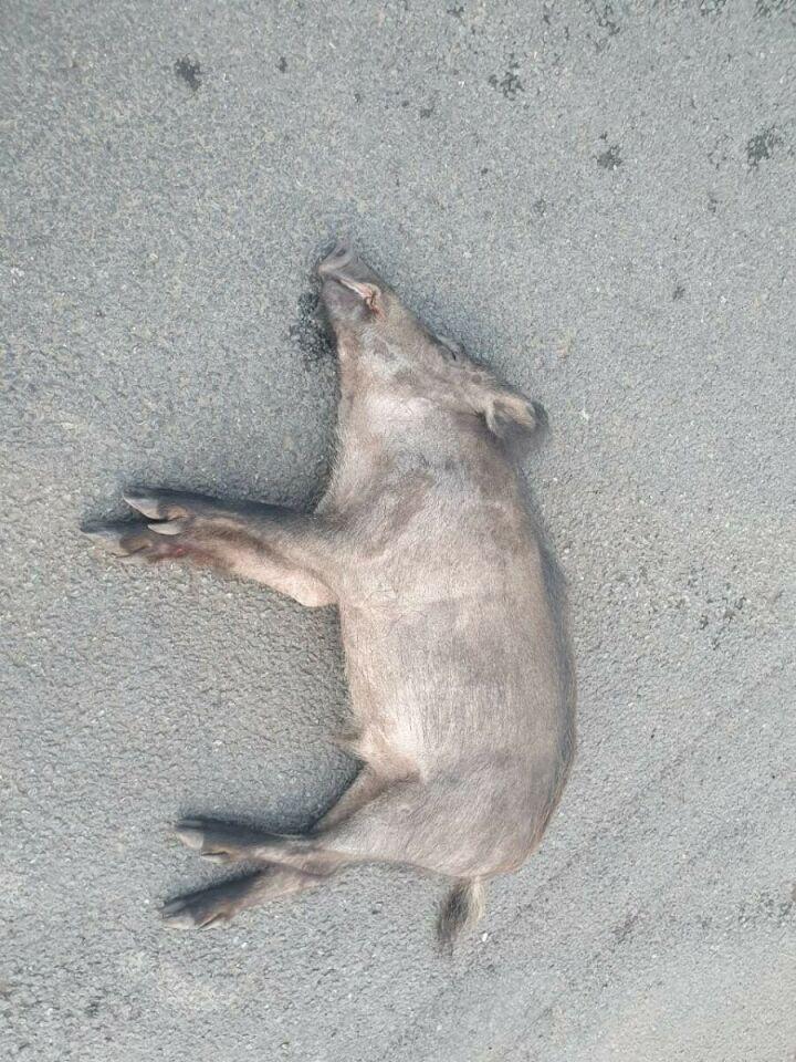 В Челнах водитель на легковушке сбил двух кабанов, животные погибли