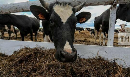 В Тукаевском районе хотят довести удои молока до 100 тонн в сутки