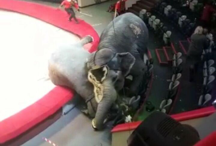 В казанском цирке во время представления один слон сшиб с ног второго