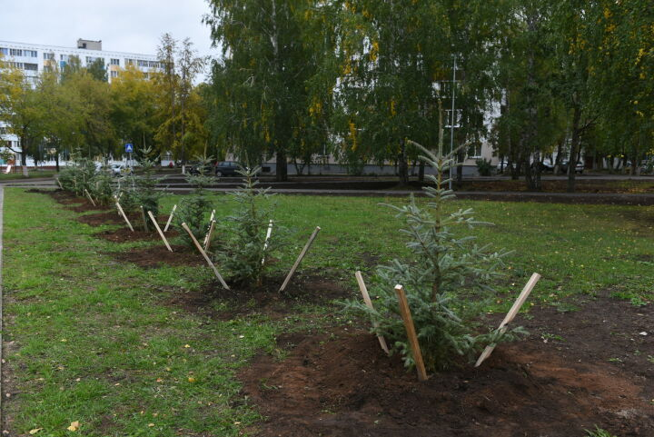 В Набережных Челнах высадили голубые ели