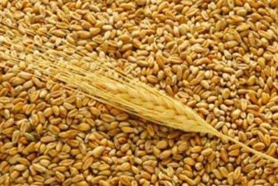 Фото.  Продаем пшеницу продовольственную 3.Объем 1000тонн,находится в хозяйстве в Ростовской области...