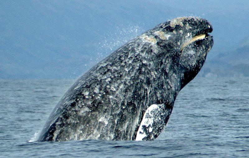 Ученые зафиксировали самую позднюю встречу серых китов уберегов Чукотки