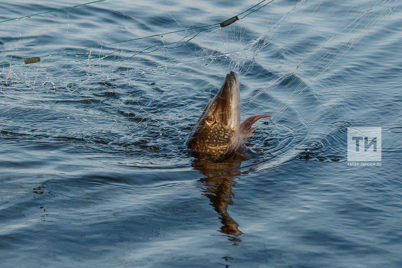 Сотрудники Госкомитета РТ по биоресурсам изъяли 5 браконьерских сетей и около 15 кг рыбы